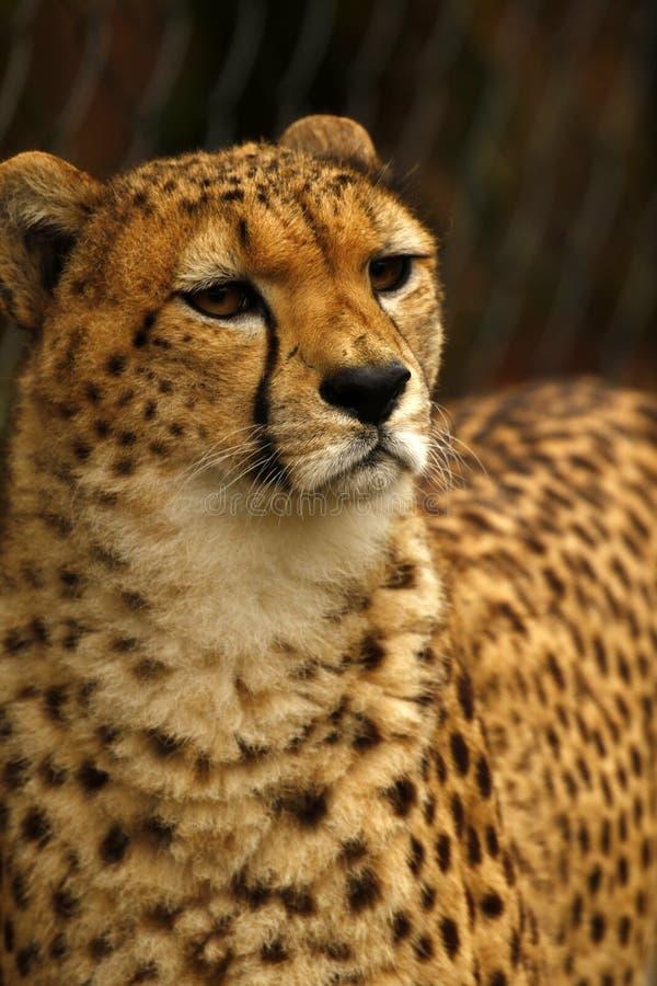Jachtluipaard het wereld` s snelste dier royalty-vrije stock afbeelding