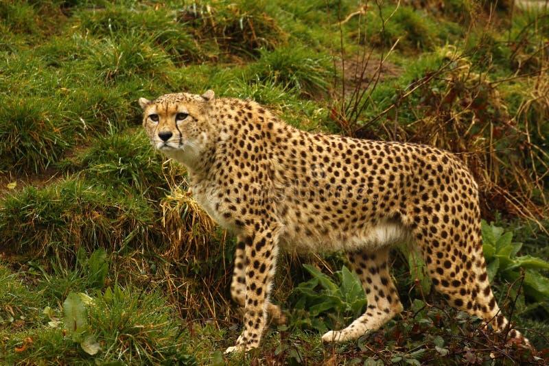 Jachtluipaard het wereld` s snelste dier stock foto