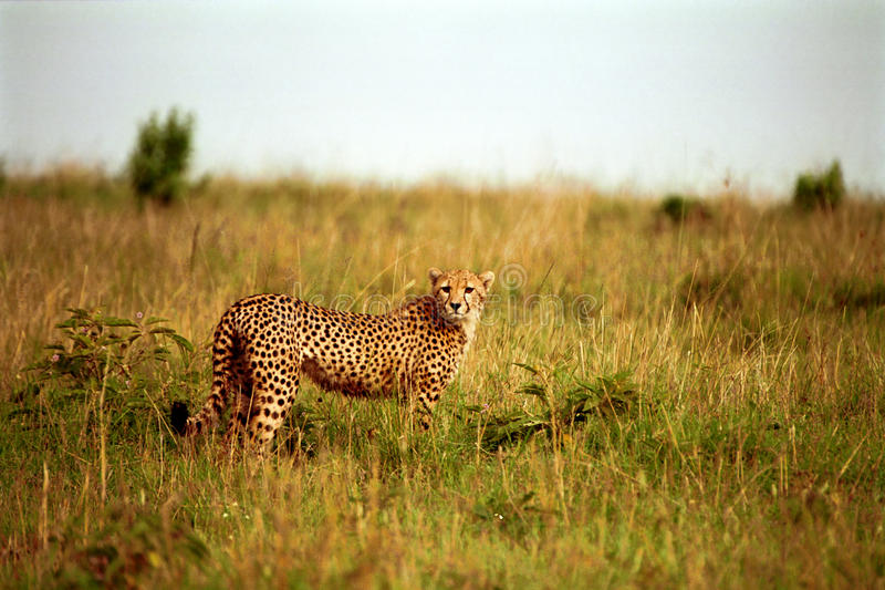 Jachtluipaard, Maasai Mara Game Reserve, Kenia royalty-vrije stock afbeelding