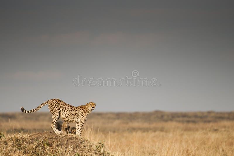 Jachtluipaard in Masai Mara, Kenia stock foto's