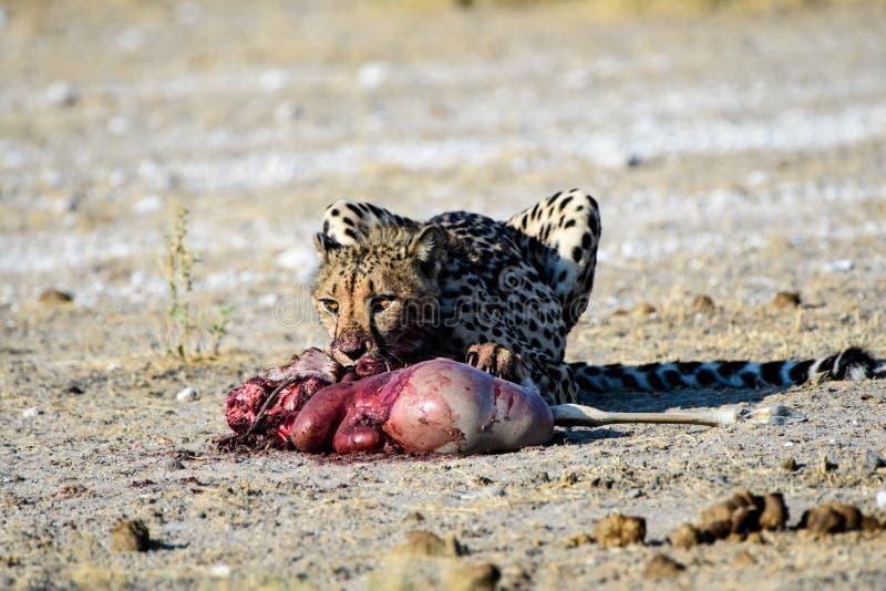 Jachtluipaard met een vers doden stock foto's