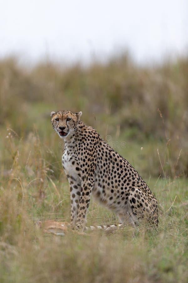 Jachtluipaard met vers doden in Masai Mara, Kenia, Afrika stock afbeeldingen