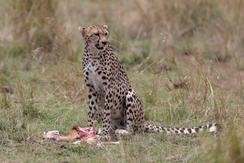 Jachtluipaard met vers doden in Masai Mara, Kenia, Afrika stock foto's