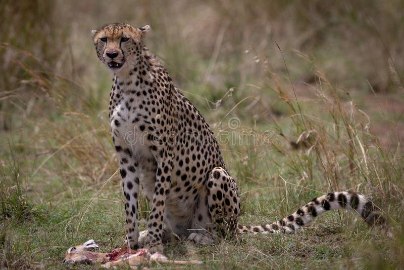 Jachtluipaard met vers doden in Masai Mara, Kenia, Afrika stock fotografie