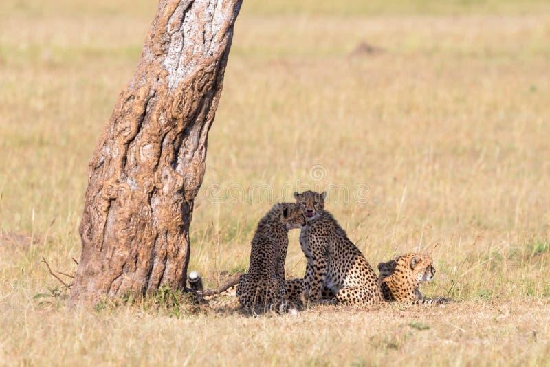 Jachtluipaard met welpen bij de savanne stock afbeelding