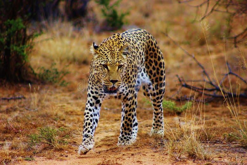 Jachtluipaard in Namibië wordt gevangen dat stock afbeelding