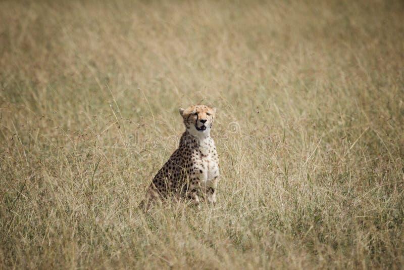 Jachtluipaard op de savanne stock foto