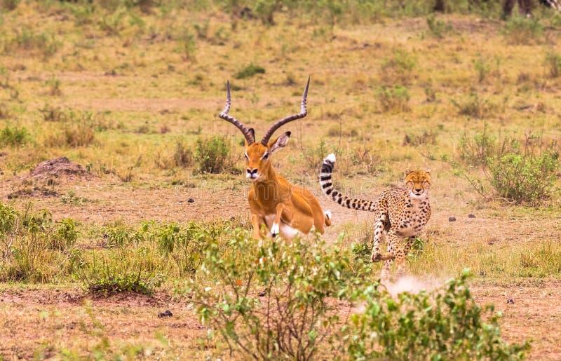 Jachtluipaard - snelste jager van Savanne Masai Mara royalty-vrije stock afbeeldingen