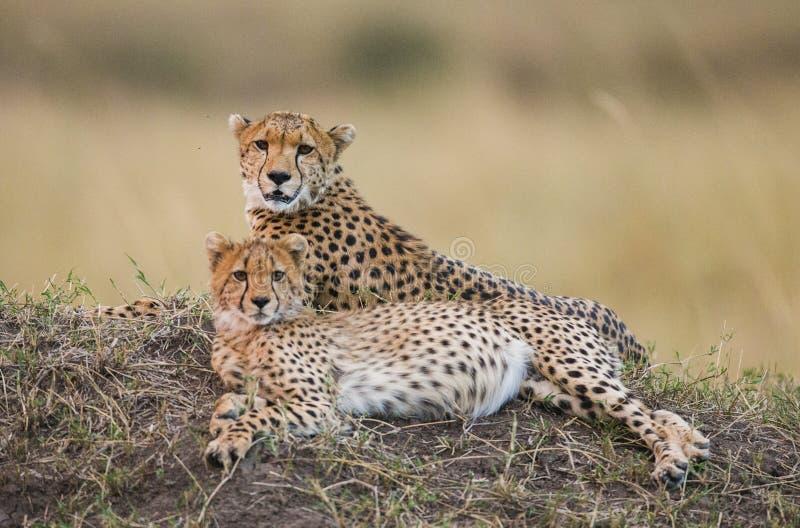 Jachtluipaard twee die in de savanne liggen kenia tanzania afrika Nationaal Park serengeti Maasai Mara stock afbeelding