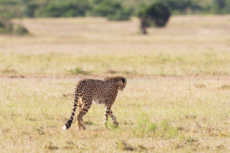 Jachtluipaard walkon de savanne stock afbeelding