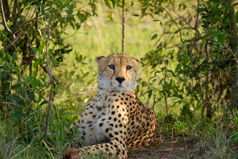 Jachtluipaard in wild Kenia royalty-vrije stock afbeeldingen