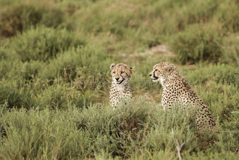 Jachtluipaardbroers in Afrika royalty-vrije stock foto