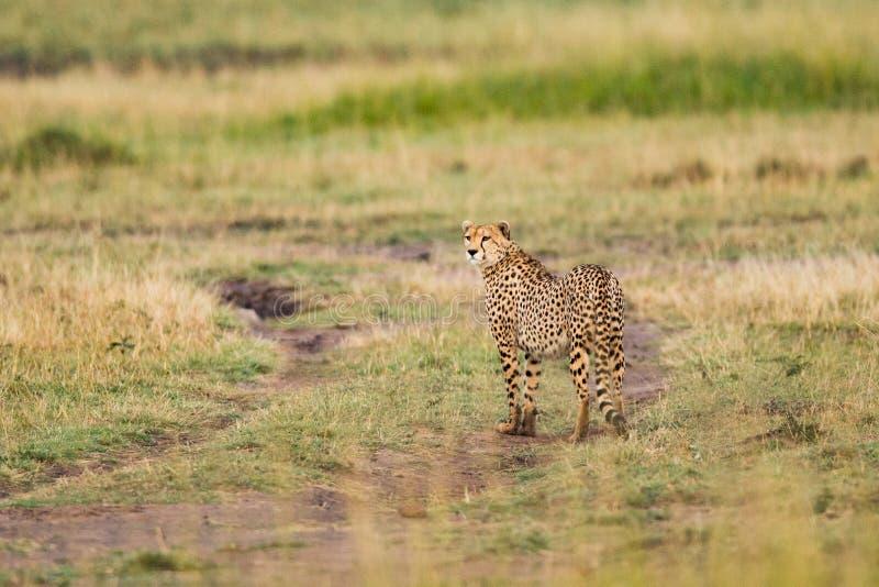 Jachtluipaardbroers op de vlaktes van Kalahari royalty-vrije stock afbeeldingen