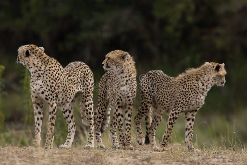 Jachtluipaarden van Masai Mara royalty-vrije stock afbeeldingen