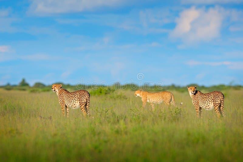 Jachtluipaardfamilie in gras, blauwe hemel met wolken Bevlekte wilde kat in aardhabitat Jachtluipaard, het lopen wilde kat Mooie  royalty-vrije stock foto