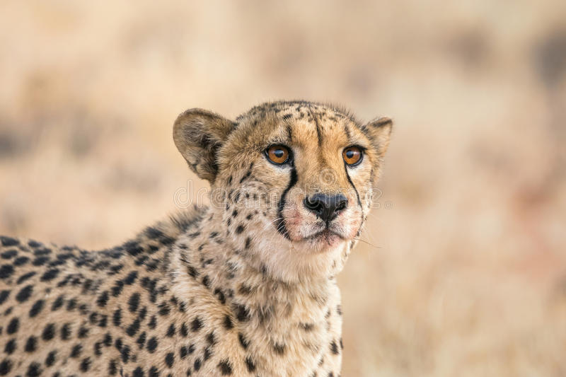 Jachtluipaardgezicht royalty-vrije stock fotografie