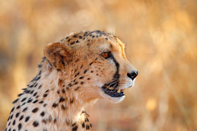 Jachtluipaardgezicht, Acinonyx-jubatus, het portret van het detailclose-up van wilde kat Snelste zoogdier op het land, Etosha NP, stock foto's