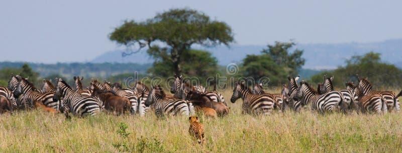 Jachtluipaardjachten voor een kudde van zebras en meest wildebeest Kenia tanzania afrika Nationaal Park serengeti Maasai Mara royalty-vrije stock afbeelding