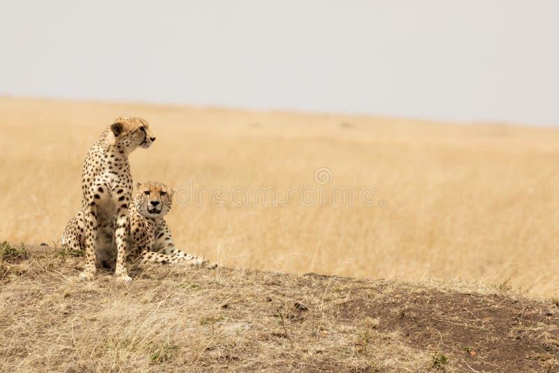 Jachtluipaardpaar in Masai Mara royalty-vrije stock foto