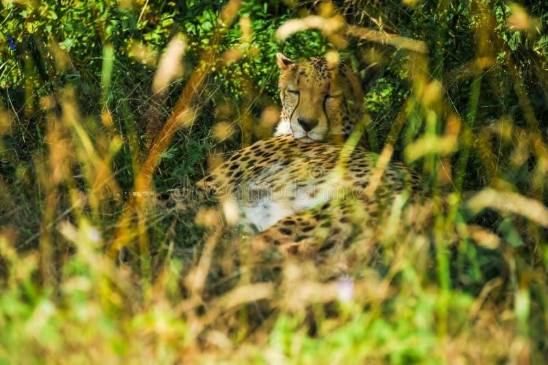 Jachtluipaardslaap onder een boom in schaduw stock afbeeldingen