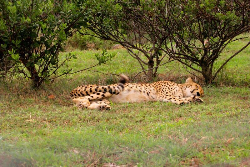 Jachtluipaardslaap onder een boom in Zuid-Afrika stock fotografie