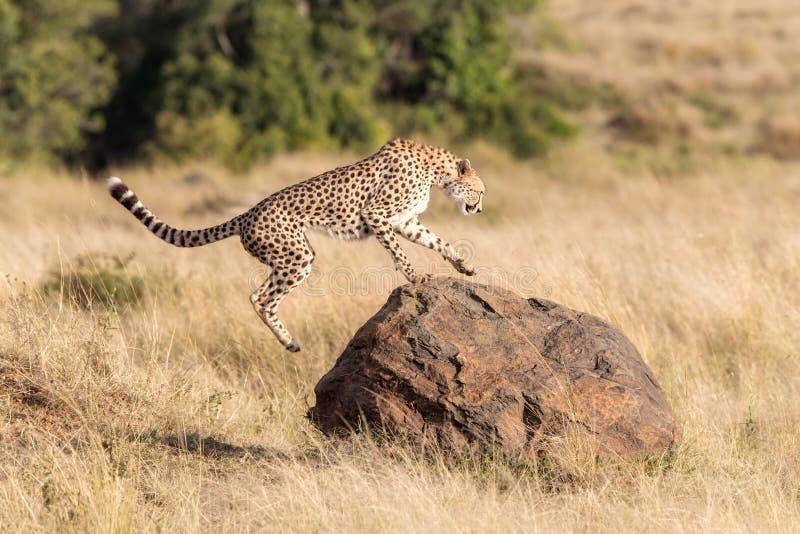 Jachtluipaardsprongen op een rots in Masai Mara stock fotografie