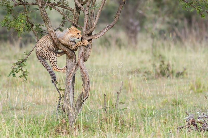 Jachtluipaardwelp die Boom, Masai Mara, Kenia beklimmen royalty-vrije stock afbeelding