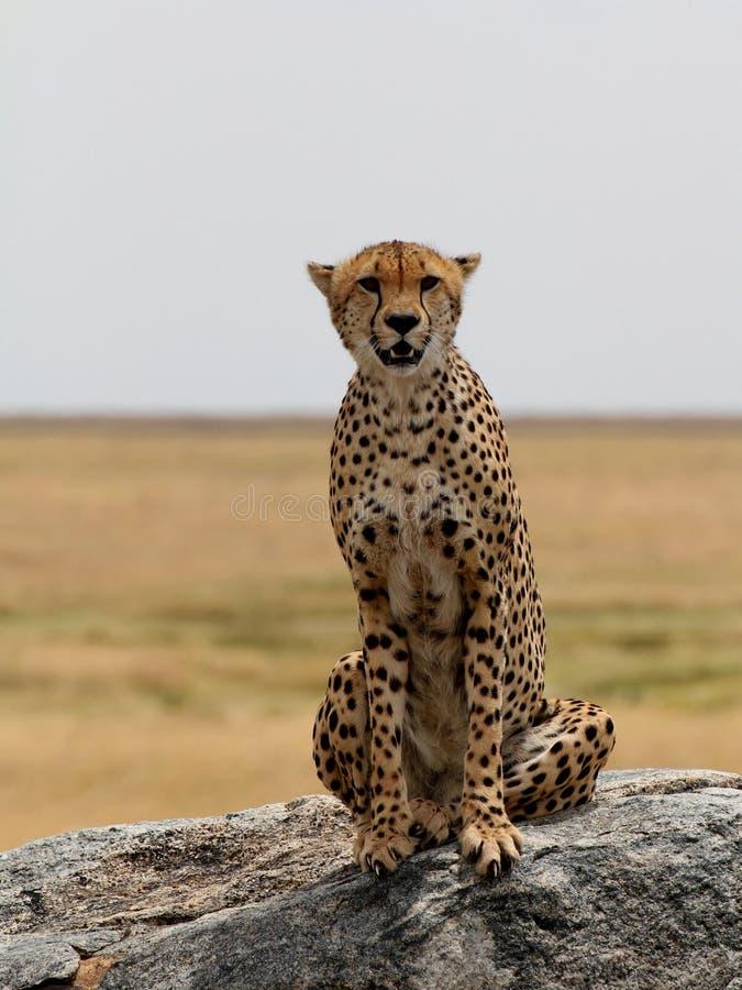 Jachtluipaardzitting op een rots stock afbeeldingen