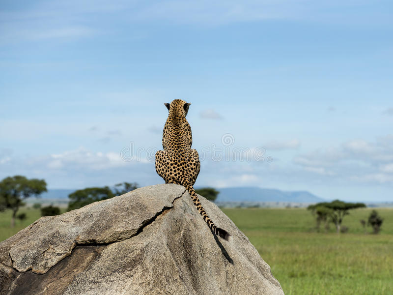 Jachtluipaardzitting op een rots en weg het kijken, Serengeti stock foto