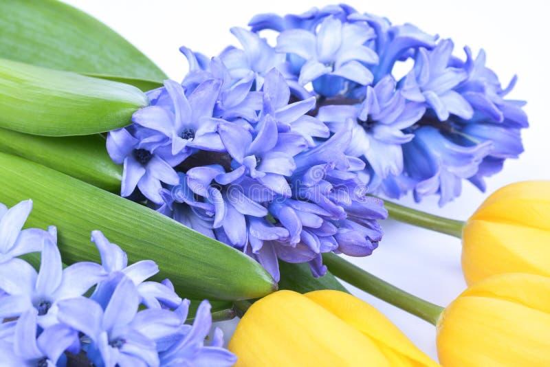 Jacinthe bleue et tulipes jaunes sur le fond blanc photographie stock libre de droits