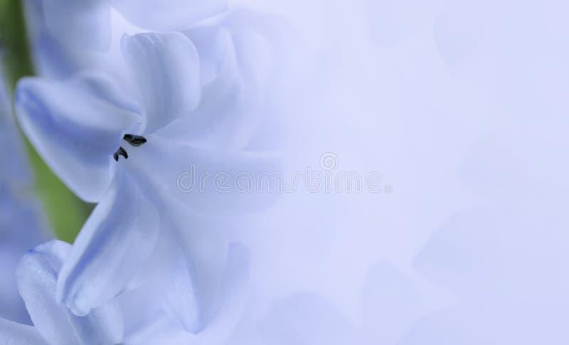Jacinthe de fleur sur le fond bleu-clair fin blanc bleu de jacinthe de pétales  Composition florale Carte postale pour les vacanc photo libre de droits