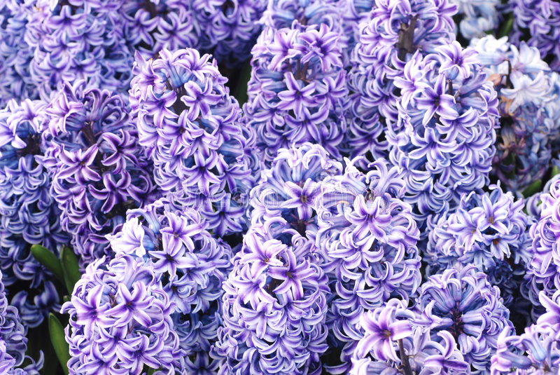 jacinthe de pourpre de fleur de source image libre de droits