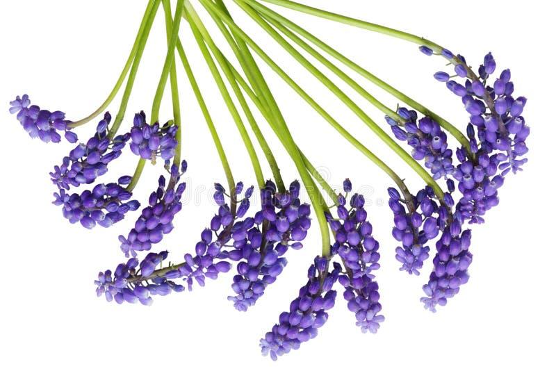 Jacinthe de raisin image stock