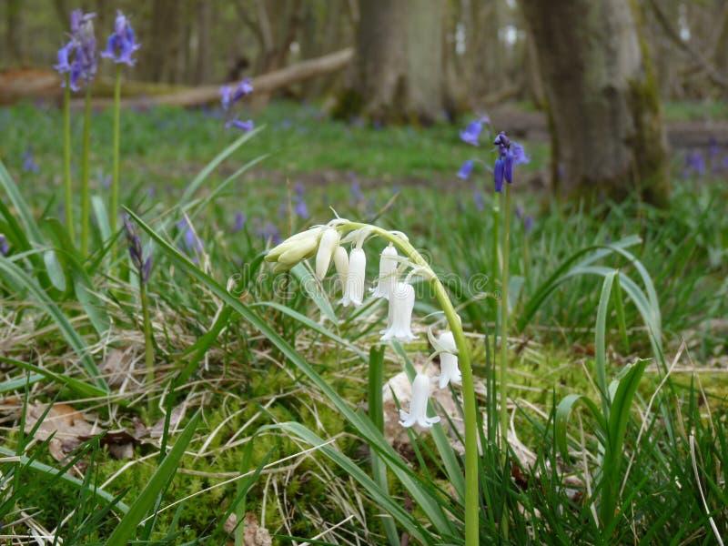 Jacinthe des bois blanche image libre de droits