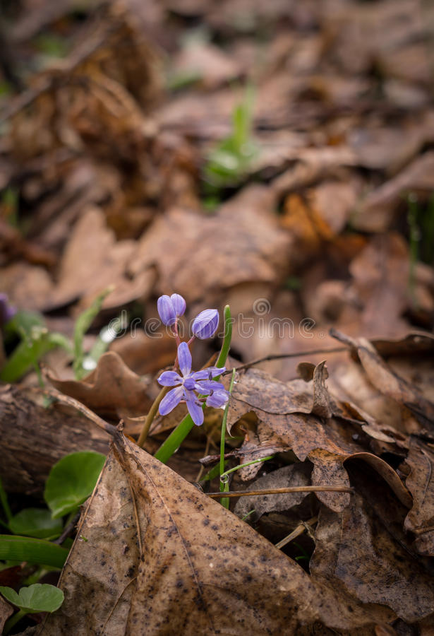Jacinthe des bois bleue Les premières fleurs de source photo stock