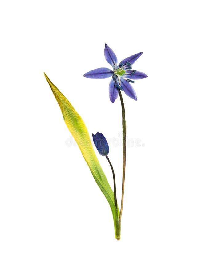 Jacinthe des bois pressée et sèche de fleur D'isolement sur le blanc photos stock
