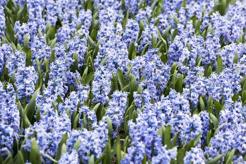 Jacinthes bleues photos stock