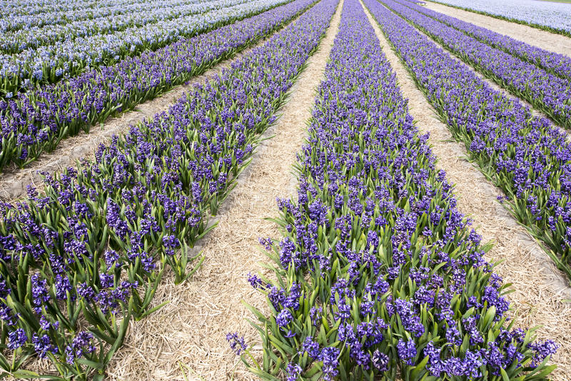 Jacinthes bleues image stock