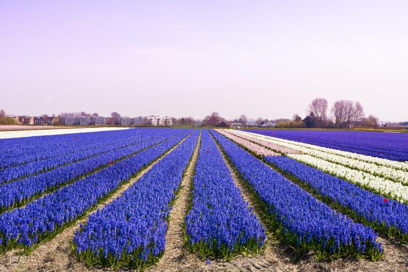 Jacinthes bleues dans la lumière de matin photo stock