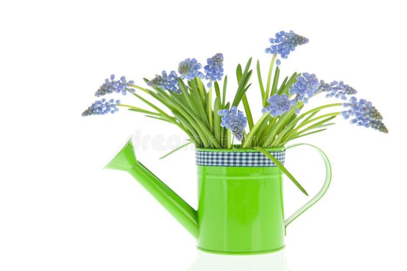 Jacinthes de raisin bleues de bouquet photos libres de droits