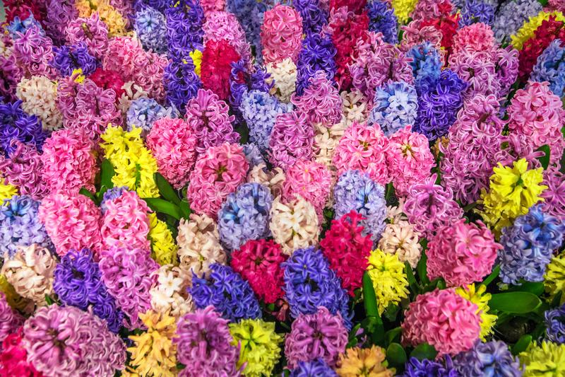 Jacinthes de toutes les couleurs de l'arc-en-ciel image stock