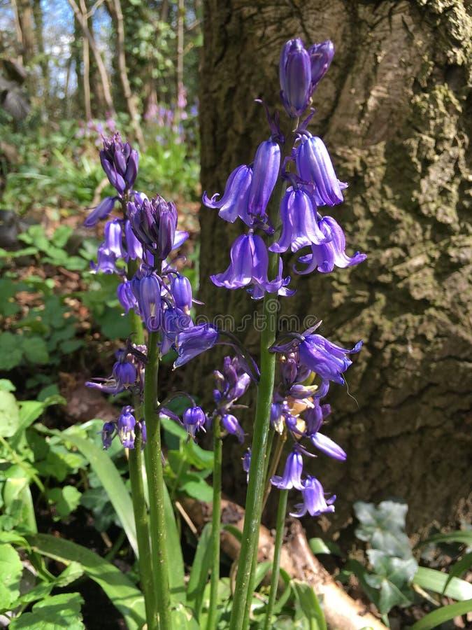 Jacinthes des bois au printemps photographie stock