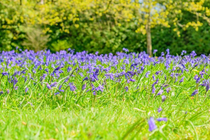 Jacinthes des bois dans les jardins anglais d'un pays photographie stock libre de droits
