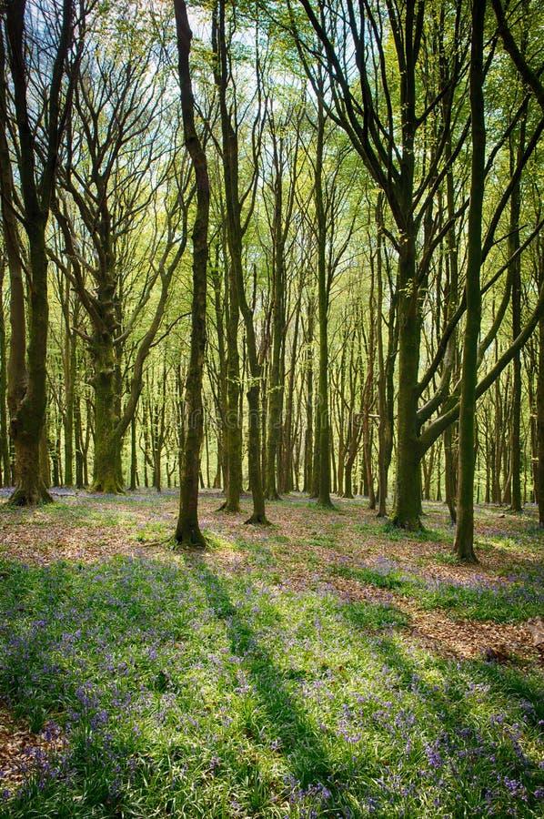 Jacinthes des bois en bois Cardiff de Wenallt image stock