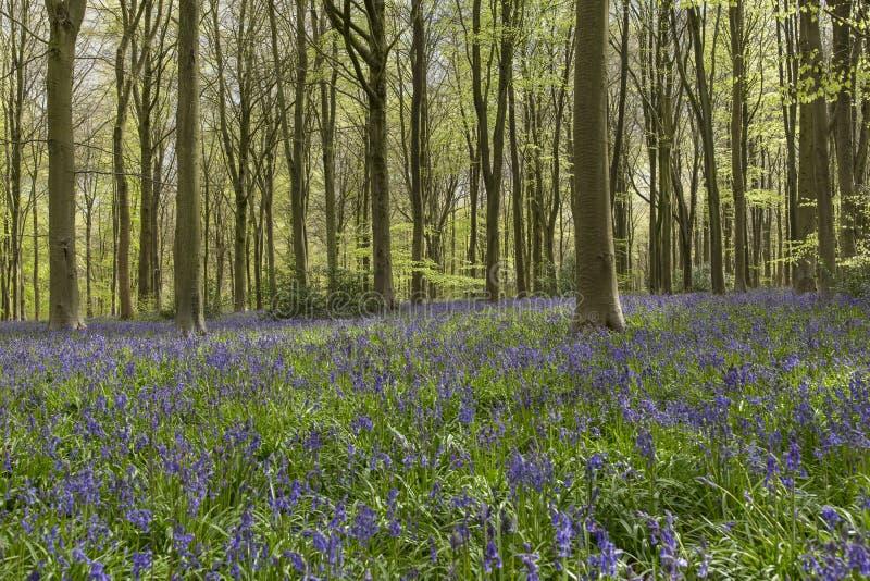 Jacinthes des bois et arbres au bois occidental, WILTSHIRE, R-U - 29 avril 201 photographie stock libre de droits