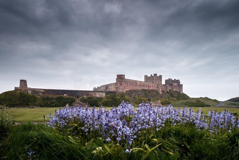Jacinthes des bois et château de Bamburgh dans le Northumberland Angleterre photographie stock libre de droits
