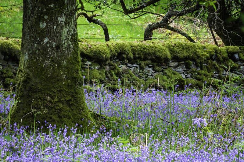 Jacinthes des bois fleurissant sur le pré écossais de région boisée photo libre de droits