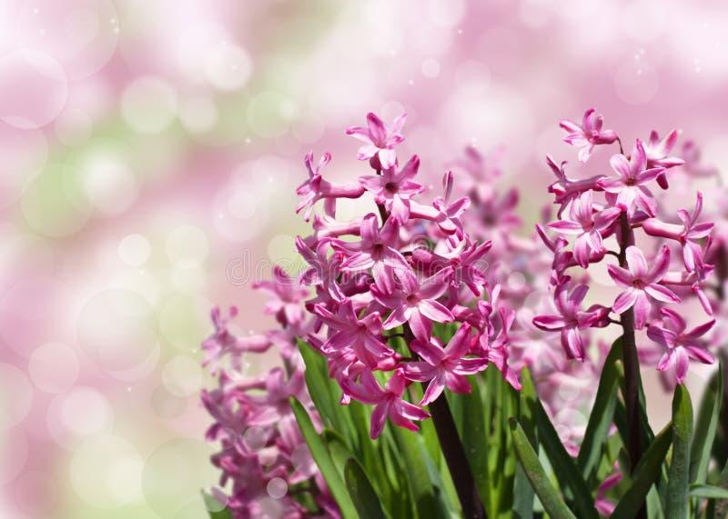 Jacinthes roses de ressort au-dessus de fond brouillé. photographie stock