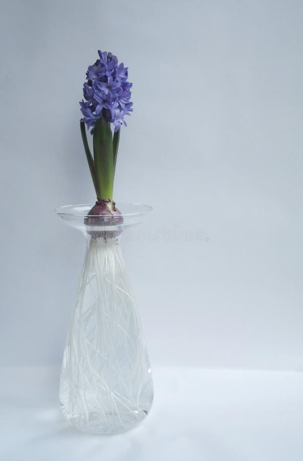 Jacinto azul en florero de cristal alto imagenes de archivo
