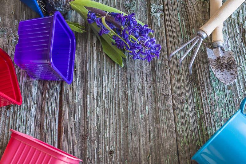 Jacinto azul en maceta y herramientas que cultivan un huerto en backgorund de madera rústico con el espacio de la copia imagen de archivo libre de regalías